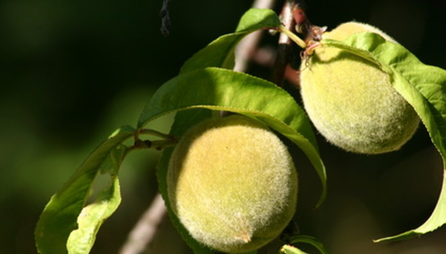 Stone fruit trees such as peach trees thrive in well-amended Mississippi soil.