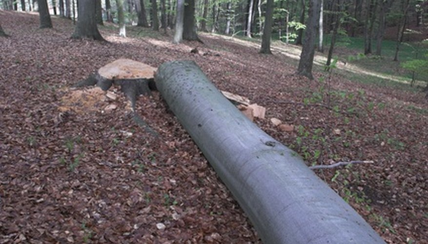 To cut down a large pine tree, notch the tree in the side on which you want it to fall.