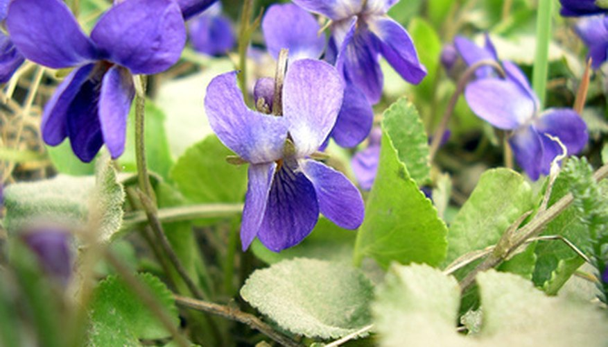 The early spring blooms of wild violets.