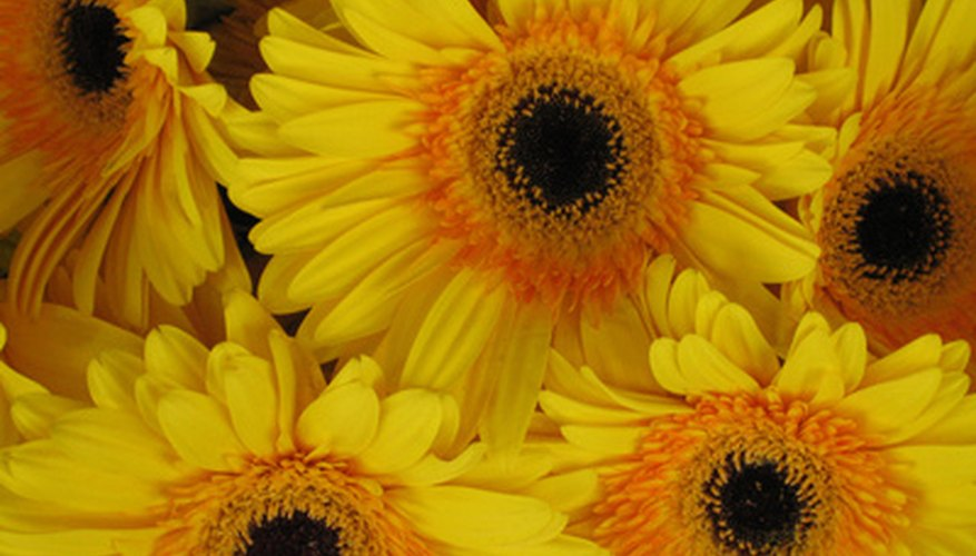 The gerber daisy can be dried out and used in craft projects.