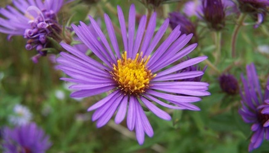 You can identify purple flowering plants like the New England Aster.