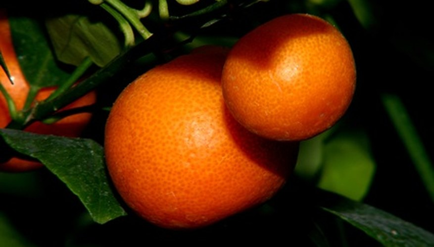 Ornamental orange trees are grown in containers but still produce fruit.
