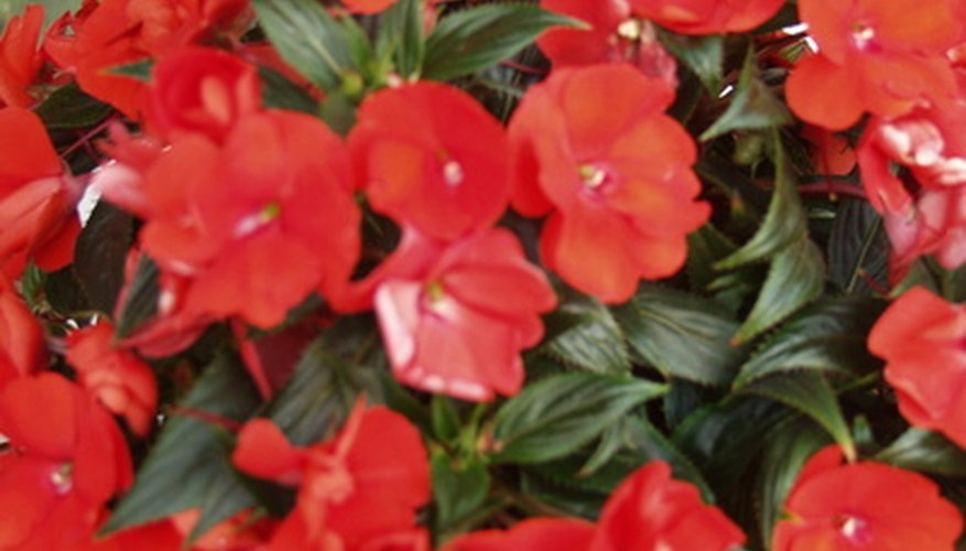 A New Guinea impatiens is covered with scarlet flowers.