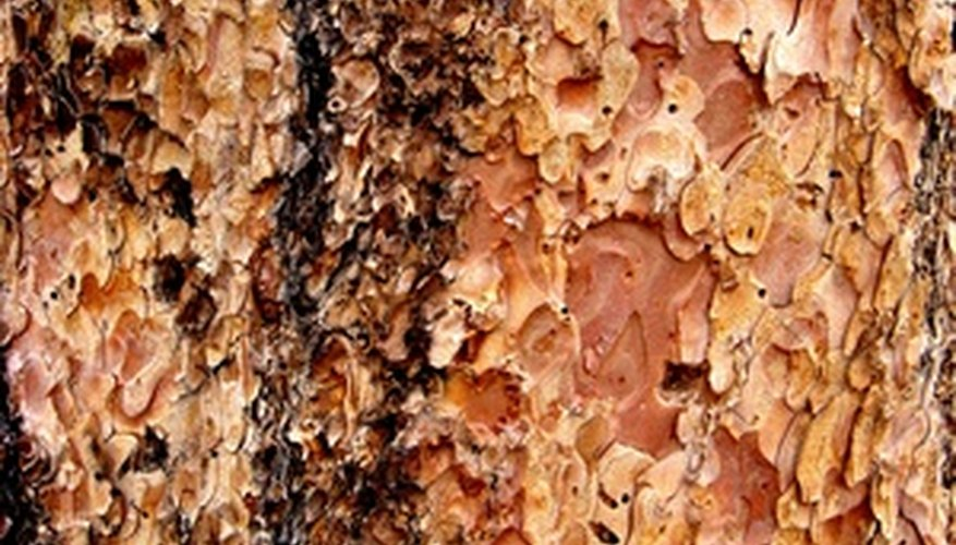 Cankers are dead areas of bark in beech trees.