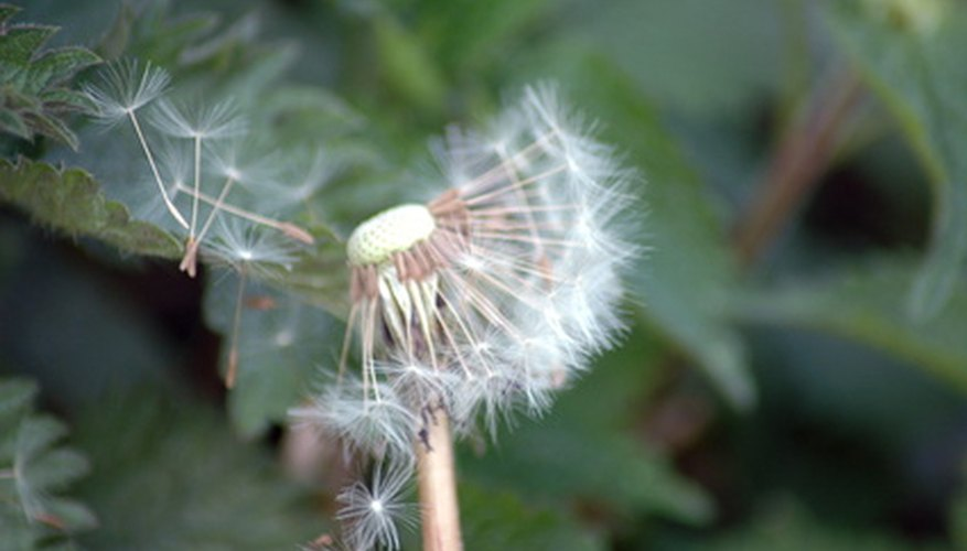 Fuzzy seeds scatter on the wind and catch on the grass, establishing a weed problem in your lawn.