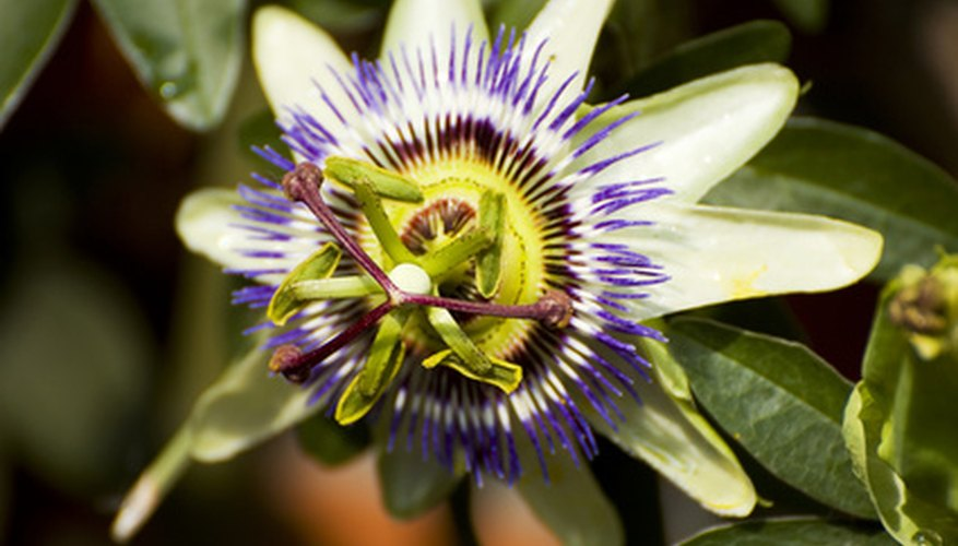 Passion flowers are perrenial.
