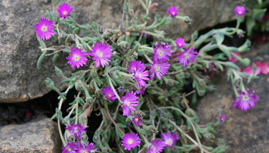 Ice plants are able to grow in rock crevices at high elevations.