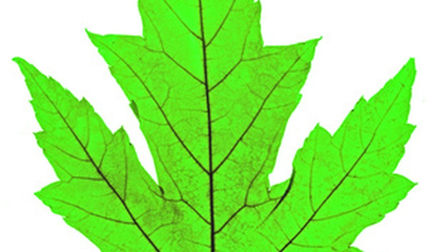 Most maple leaves have lobes and somewhat resemble a hand.