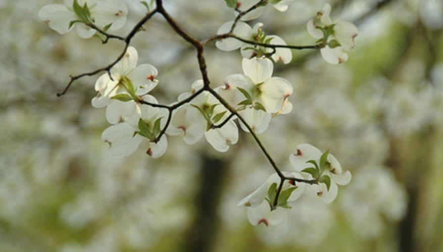 Flowering dogwood blossoms in mid-spring.