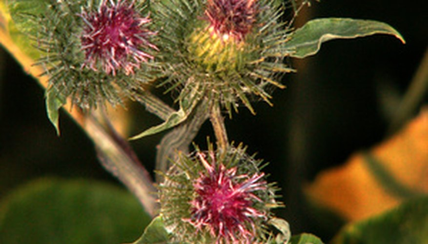 Purple starthistle (Centaurea calcitrapa)