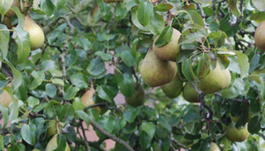 Overgrown pear trees need rejuvenation.