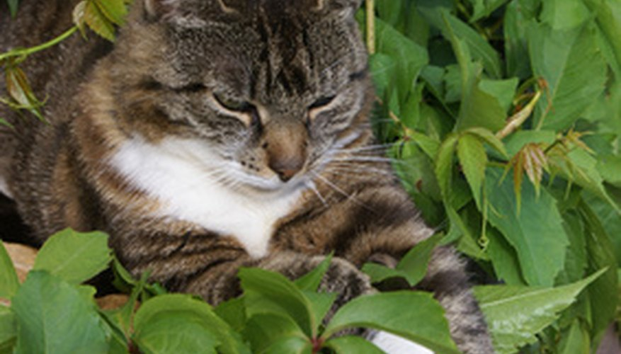 Cats enjoy lying in landscape plants, but they can come into contact with pesticides, fertilizers and herbicides.