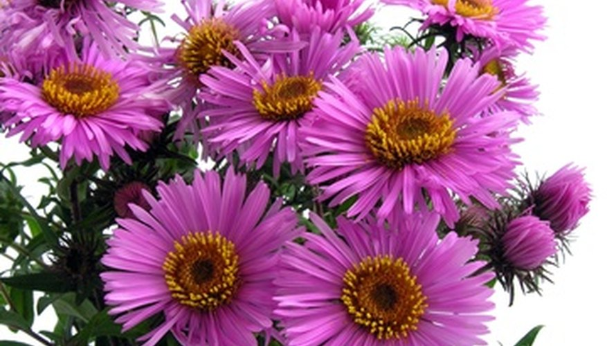 Asters provide color in autumn when other flowers have stopped blooming.