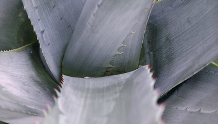 Blue agave plants grow well in full sun areas.