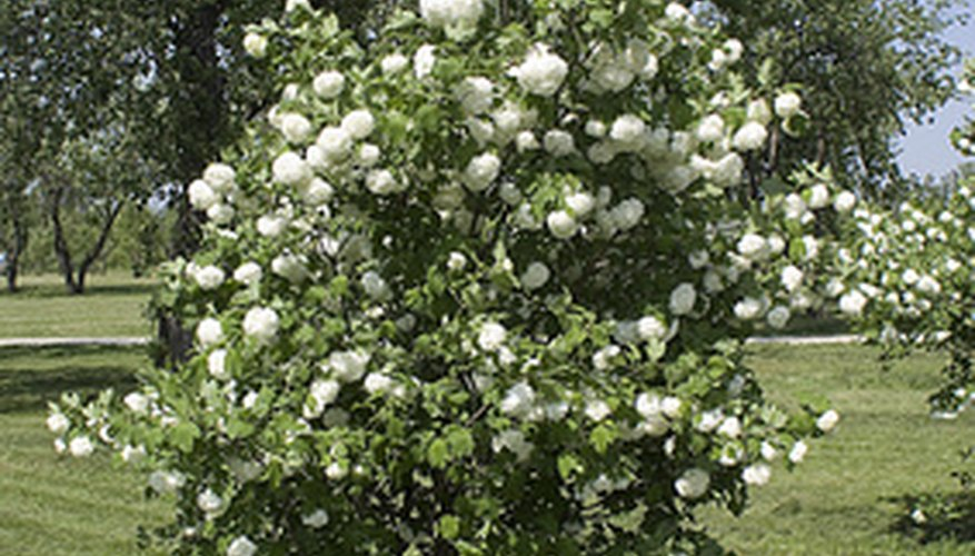 Button bush usually grows to around 6 to 8 feet high.