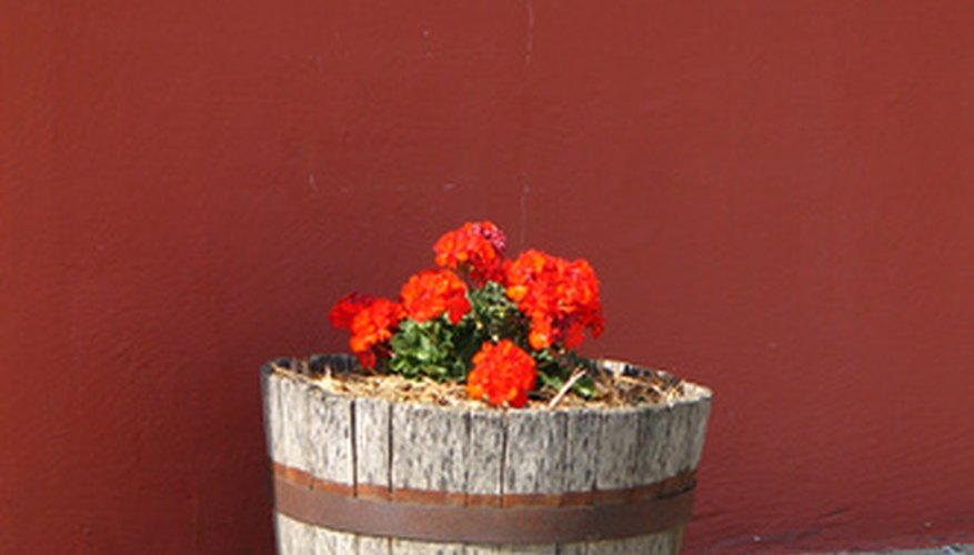 Barrel plants can be used in many ways in the landscape.