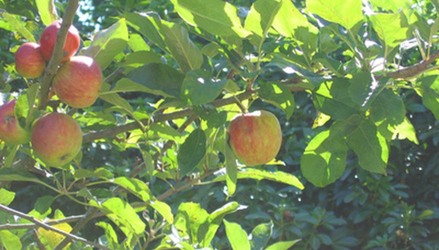 Washington's apple orchards provide 60 percent of all fresh eating apples in the United States.