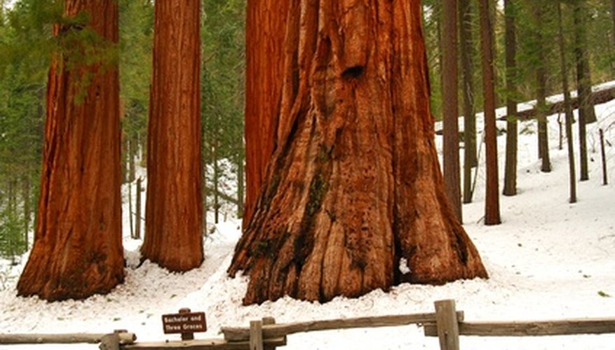 Both coastal redwoods and the giant sequoia are massive.