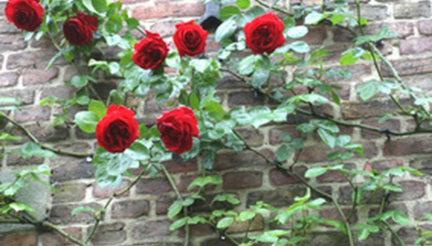 Climbing rose bush trained on a wall