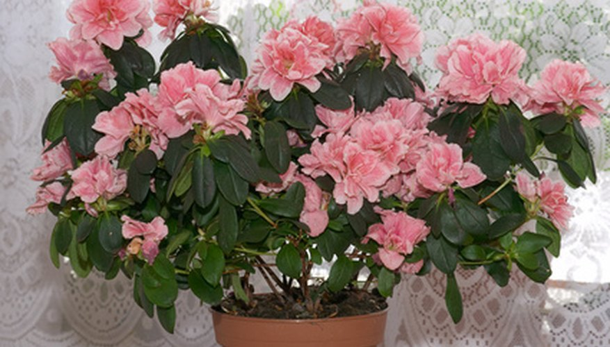 Evergreen dwarf azaleas are often grown in pots.