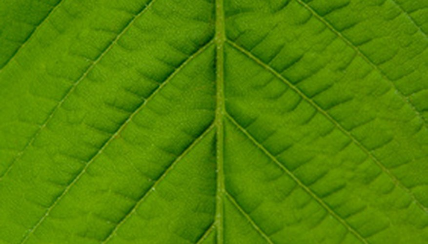 A leaf cutting from a plant can be grown into a new plant.