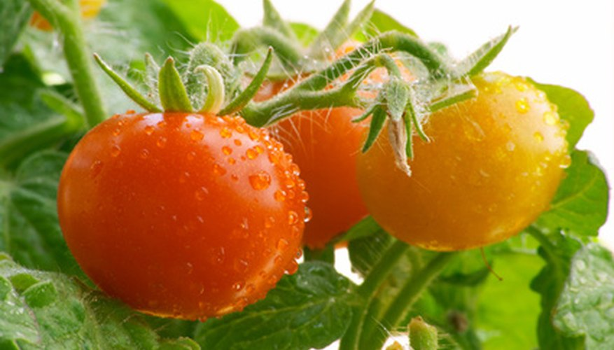 Be aware of diseases that can reduce your tomato yield.