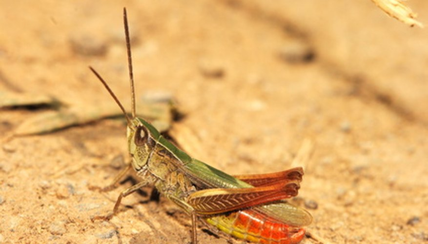 The rear of the grasshopper is the abdomen.