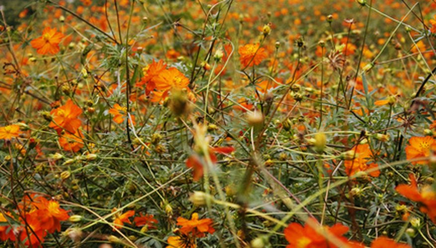 A wild tangle of orange cosmos.