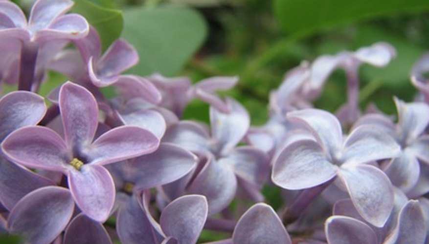 Lilac flowers thrive in alkaline soil.