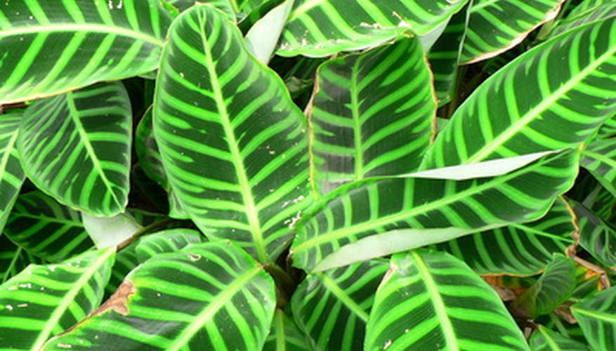 Calathea plants are known for their patterned foliage.