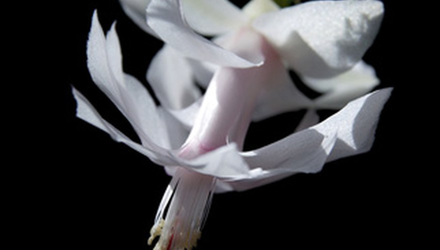Christmas cactus produces flowers at the ends of its branches.