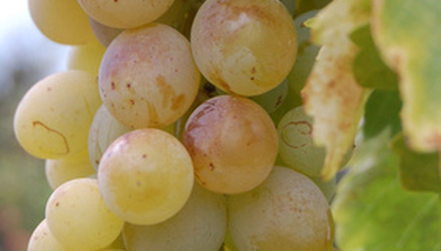 Scuppernong grapes are bronze-green in color.