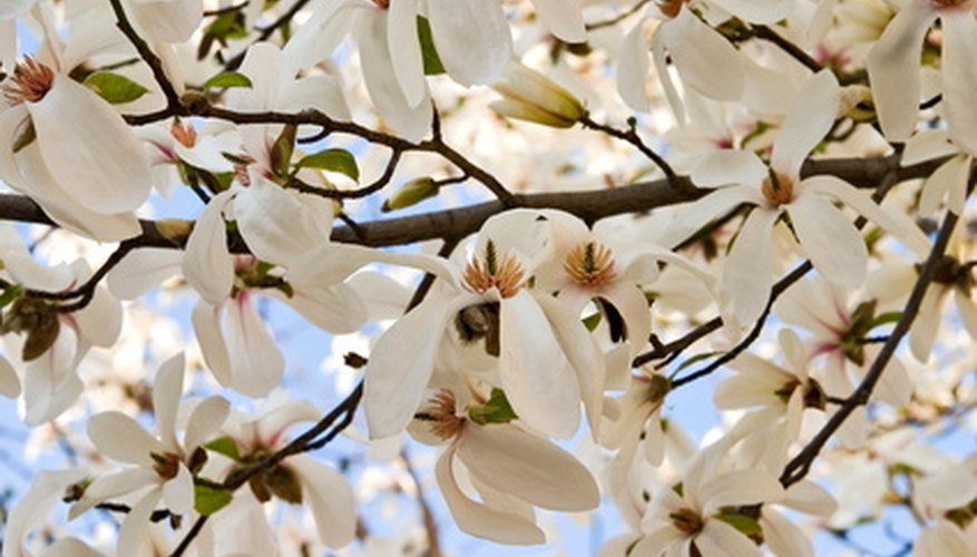Magnolia trees have top rooting systems.