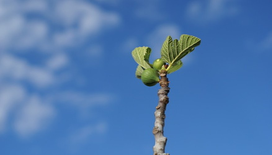 Young leaves on fig limb.
