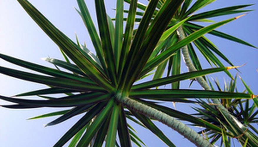 The yucca is a tree-like succulent.