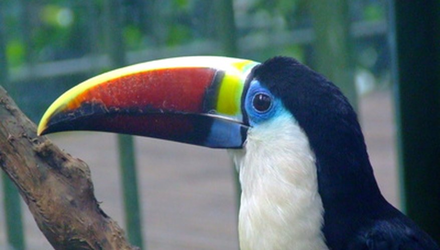 The toucan is one of the animals that lives in the rainforest canopy.
