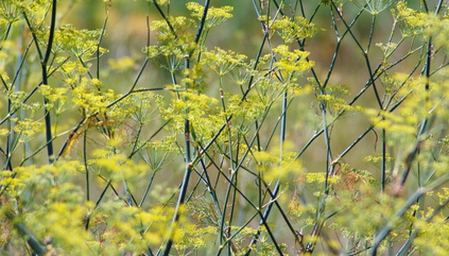 Grow colorful fennel in your backyard.