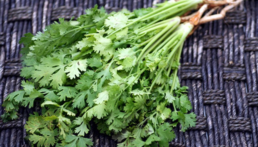 Cilantro is a cool-season crop.