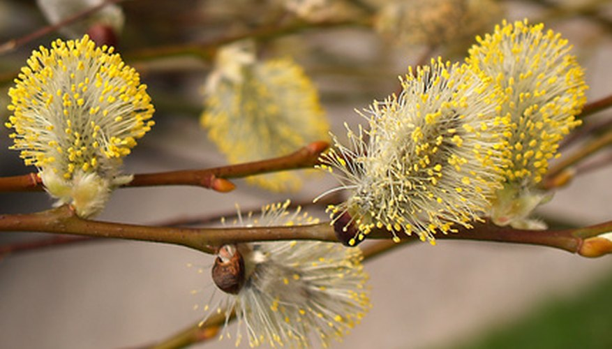 Bright yellow catkins on certain varieties of willows provide a burst of color to the landscape.