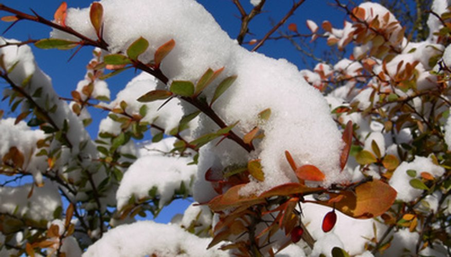 Snow-covered barberry bush