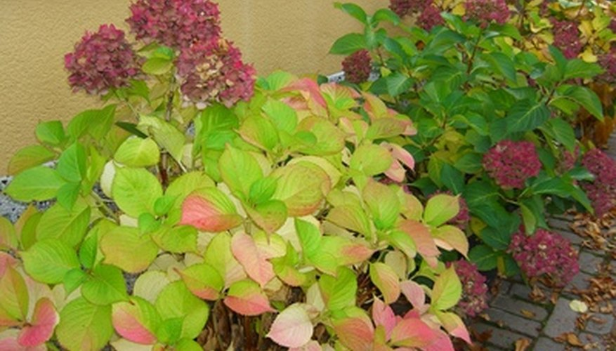 Move hydrangeas that outgrow space or need more light.