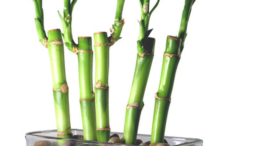 Multiple lucky bamboo stalks growing in water.