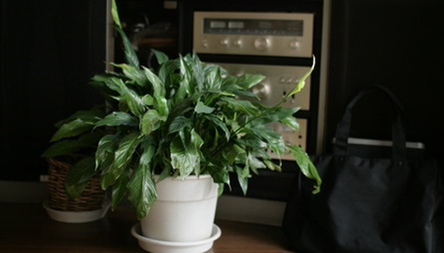 Houseplant generally have shallow root systems.