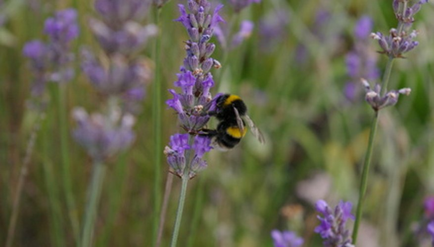 Lavender with beneficial bumblebee