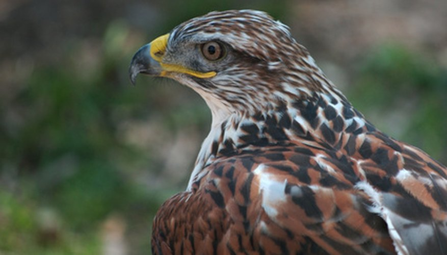 A hawk is a tertiary consumer.