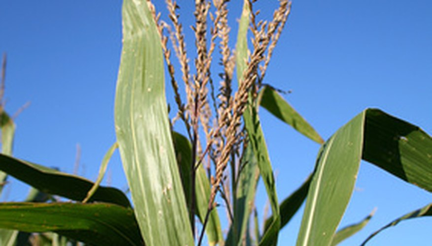 Stalk of corn growing in a cornfield