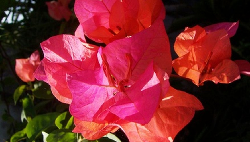 Bougainvillea is unmistakable because of its showy, petal-like bracts.