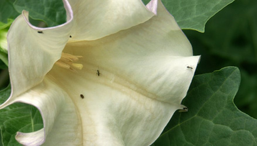 The showy white flower of a Datura plant.