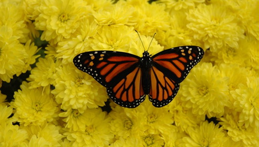 A butterfly rests on a cluster of mums.