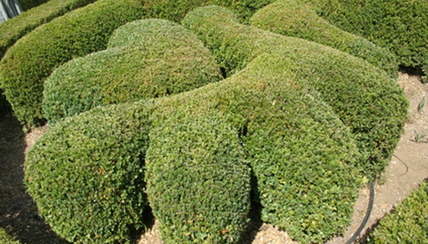 Buxus microphylla japonica (Japanese Boxwood) is prone to damage from hot sun and cold wind.